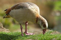 吃草埃及鹅 库存照片