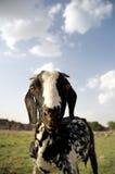 吃草域的山羊 免版税库存图片