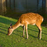 吃草奈良的鹿 免版税图库摄影
