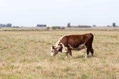 吃草孤独的母牛 免版税库存图片
