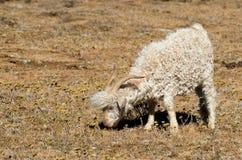 吃草安哥拉猫的山羊 图库摄影