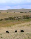 吃草安格斯黑色的母牛 库存图片