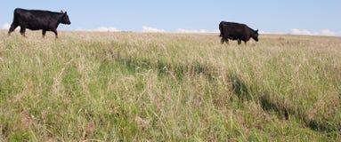 吃草安格斯黑色的母牛 免版税库存图片