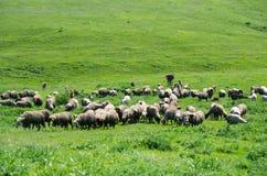吃草家畜的牧群  库存图片