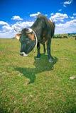 吃草小山的母牛 免版税库存照片