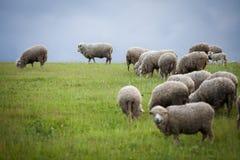吃草小山绵羊 免版税库存照片