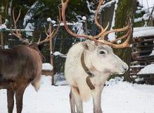 吃草小牧场的两头驯鹿冬天 图库摄影