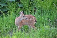 吃草小的鹿 免版税库存照片