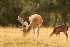 吃草小鹿的雄鹿 库存照片