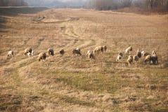 吃草小组的绵羊 免版税库存图片