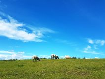 吃草山坡绵羊 库存图片