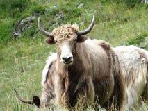 吃草山的牦牛 库存图片