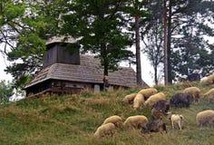 吃草山绵羊 在绿色春天草甸的绵羊葡萄酒样式的 免版税库存照片