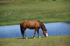 吃草布朗的马 免版税库存图片