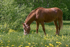 吃草布朗的马 免版税库存照片