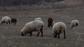 吃草布朗的绵羊 股票视频