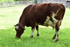 吃草常设的母牛 免版税图库摄影