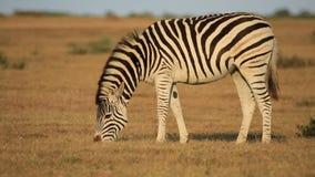吃草平原的斑马 免版税库存照片
