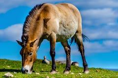 吃草幼小棕色的马吃草在与蓝天和云彩的一个热的夏日在北部苏格兰 库存照片