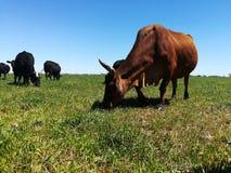 吃草开放牧场地的牛 免版税库存图片