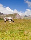吃草愉快的母牛 免版税库存照片