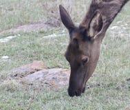 吃草接近的面孔的麋只射击了 免版税库存图片