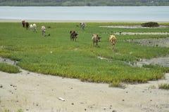吃草操作的亚洲牛在森林里 免版税库存图片