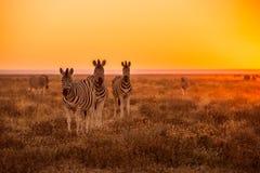 吃草斑马的牧群  库存图片