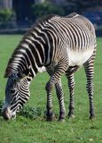 吃草斑马的草 免版税库存图片