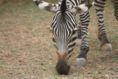 吃草斑马 免版税图库摄影