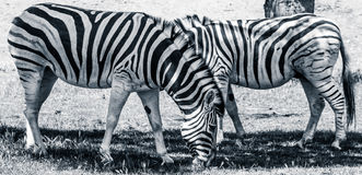 吃草斑马 免版税库存图片