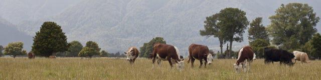 吃草新西兰的母牛 免版税库存图片