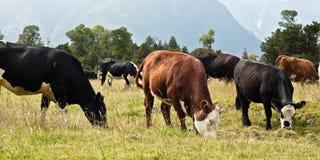 吃草新西兰的母牛 免版税库存照片