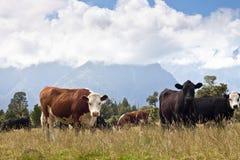 吃草新西兰的母牛 库存图片