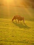 吃草星期日的秋天母牛 免版税库存图片