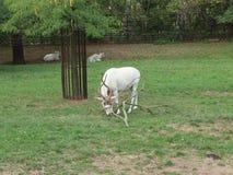 吃草曲角羚羊 库存照片