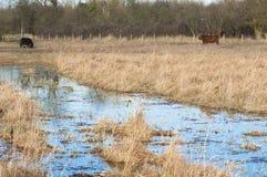 吃草有牛的沼泽 免版税库存照片