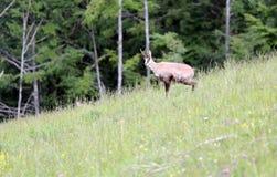 吃草有绿草的羚羊草甸在夏天 免版税库存图片