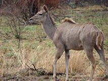 Kudu母牛 图库摄影