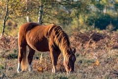 吃草栗子的马 免版税库存照片