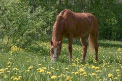 吃草栗子的马 免版税库存图片