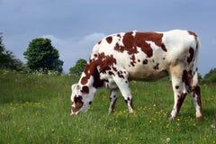 吃草棕色的母牛 免版税库存照片