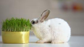 吃草植物,营养补充,野生生物自然的饥饿的宠物兔子 股票录像