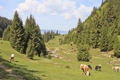 吃草横向的母牛 免版税库存照片