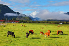 吃草橙色和黑的母牛 库存图片