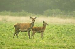 吃草母亲和小的鹿 库存照片