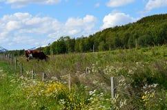 吃草母牛在夏天 库存照片