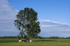 吃草母牛在树下 免版税库存照片