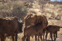 吃草母牛在纳米比亚 库存图片