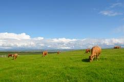 吃草母牛在草甸 库存图片